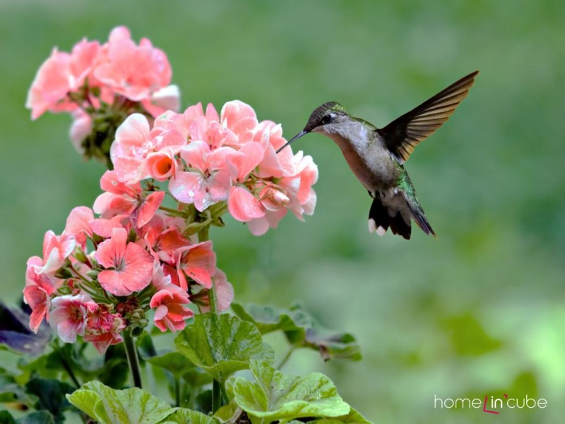 Také kolibříci si rádi pochutnávají na nektaru z květin.