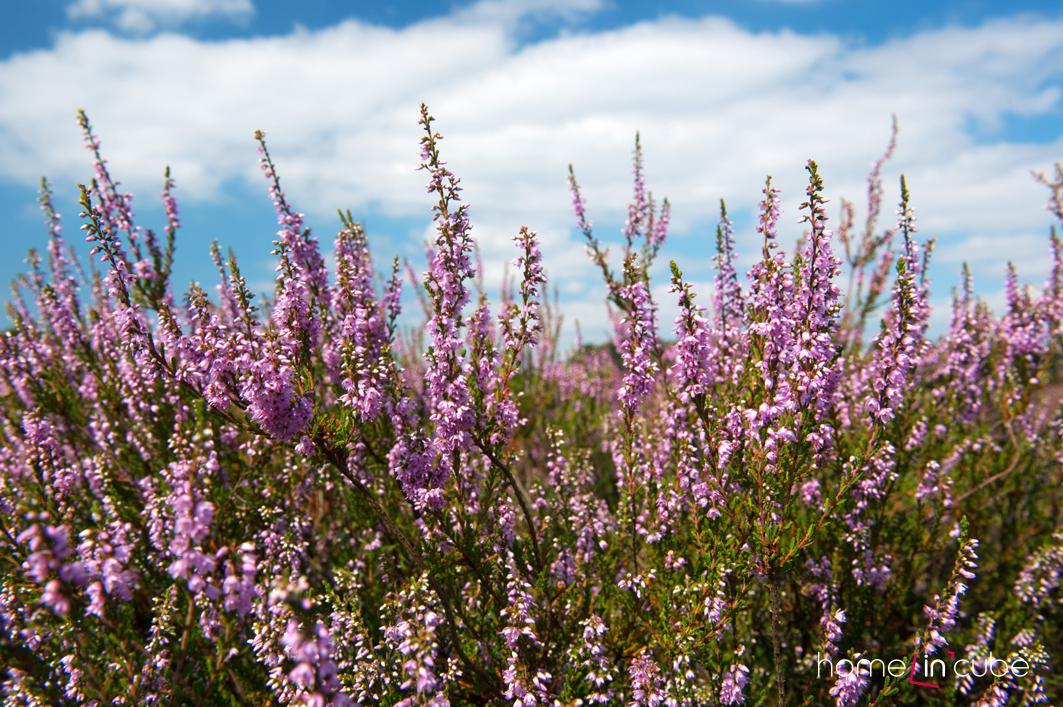 Vřesy a vřesovce jsou nedílnou součástí vřesoviště, v kombinaci s rododendrony a azalkami, ale mohou být osazeny i do skalky.