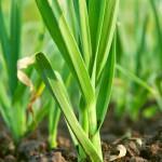 Paličáky a zimní česneky sázíme koncem října a začátkem listopadu, jarní česneky pak v březnu nebo začátkem dubna.