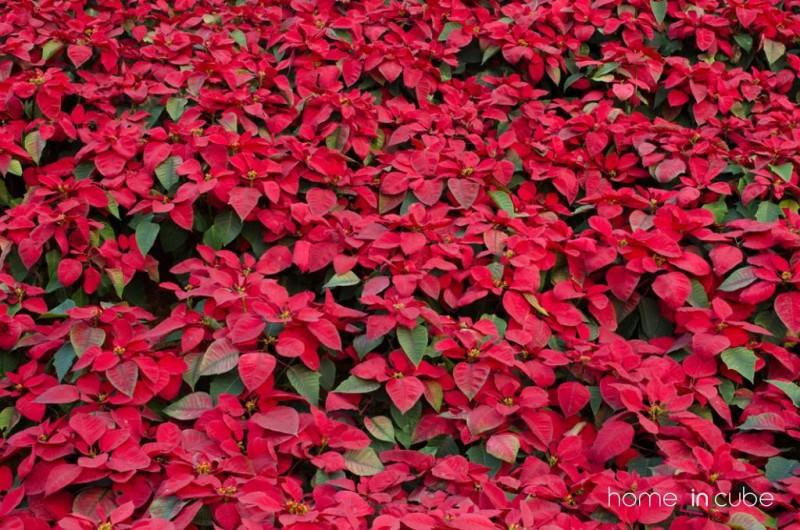 Takto nádherně vypadá vánoční hvězda, když je vysázena v záhonu. U nás ji známe zejména samostatně v květináči, ve kterém zdobí nejeden vánoční domov.