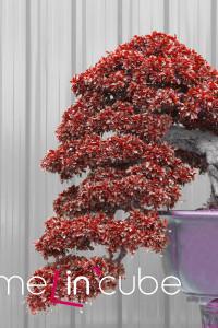 Pěstování bonsají je poměrně náročné. Kdo jim ovšem propadne, rád jim čas investuje.