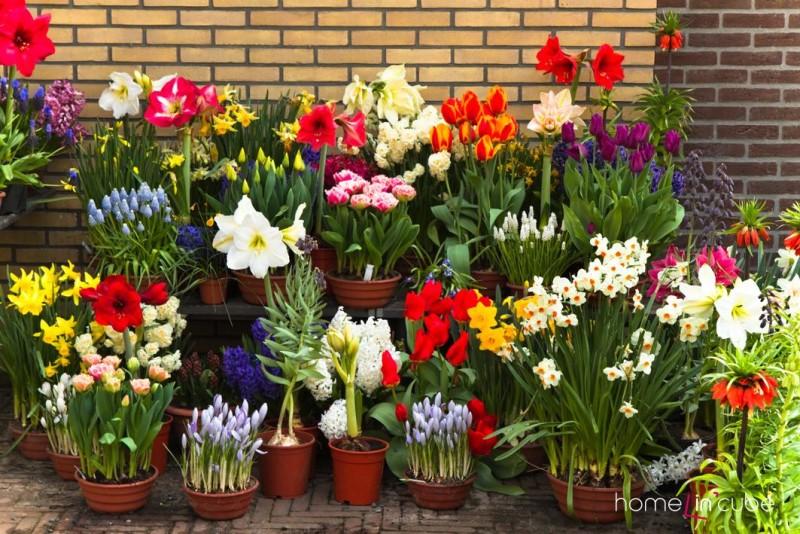Málo co zahřeje srdce ženy tak, jako pestrobarevné květiny pořízené v zimních měsících. Pro rychlení cibulovin se nejlépe hodí hyacinty a dále pak drobné cibuloviny jako modřence, šafrány, konvalinky a drobné tulipány.