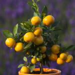 Pořídíme-li si stromek citrusu domů, budeme-li se dostatečně starat, můžeme očekávat výsledky.