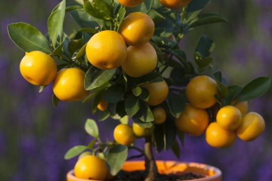 Stromek s citrusy navodí doma exotickou atmosféru