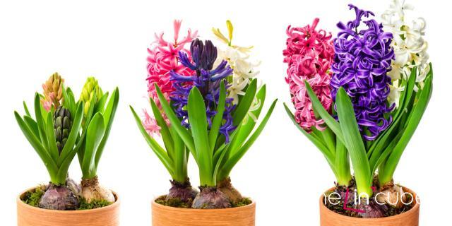 Hyacint si můžete pořídit v nejrůznějších barvách. Působí pěkně, když si jich vysadíte hned několik do jednoho květináče. Samozřejmě v různých barvách.