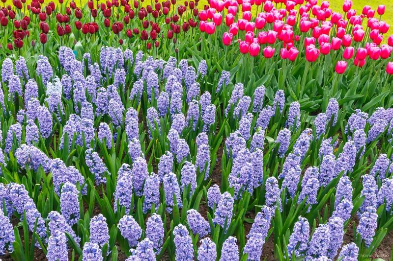 Působí pěkně, když cibuloviny sázíme ve skupinkách. Výsledkem může být nádherný pestrobarevný záhon.