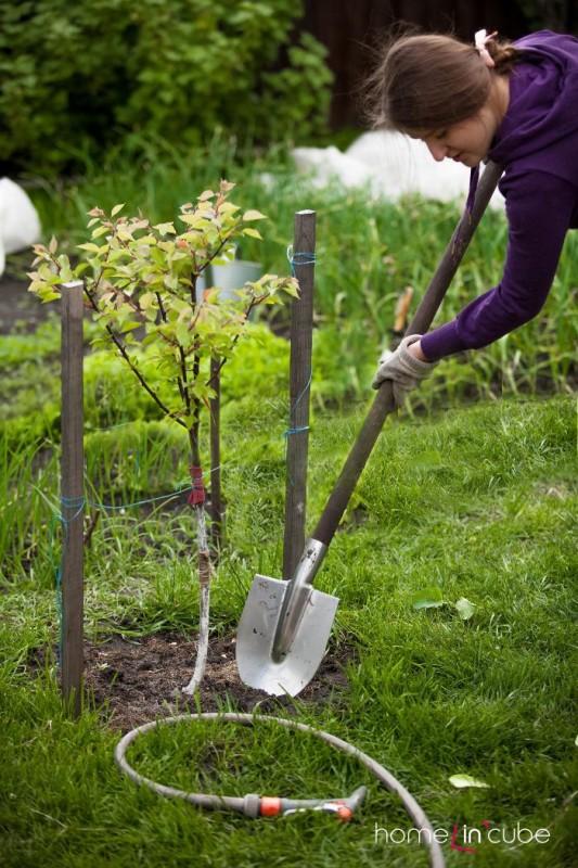 Pokračujeme s výsadbou ovocných stromků.