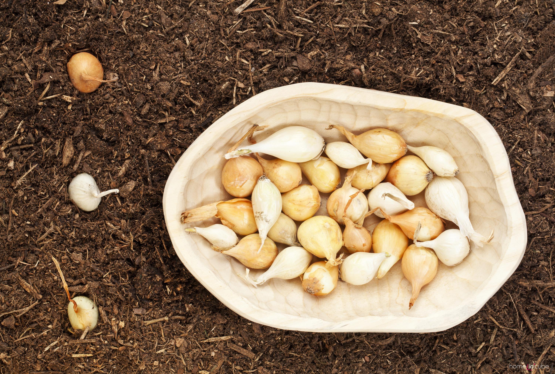 Выращивание репчатого лука из севка. Технология, секреты 82