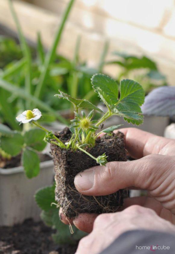 Očistíme jahodníky od zaschlých listů, koncem měsíce můžeme začít s výsadbou nových jahodníků.