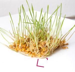 Naklíčená pšenice