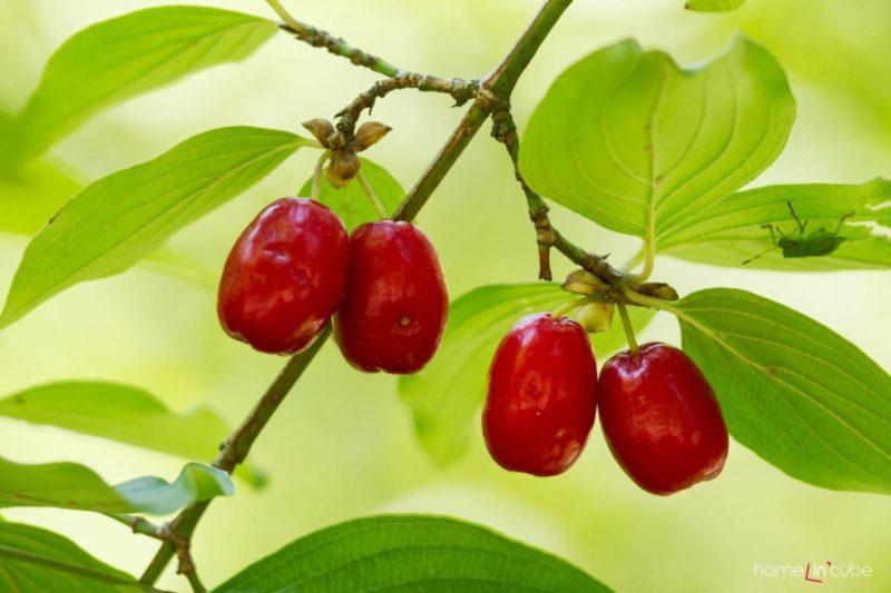 Dřín se svými malými plody je vhodným keřem do malé zahrádky.