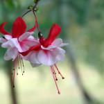 Květy září různými barvami, jejich výběrem můžeme doladit barevné řešení zahrady.