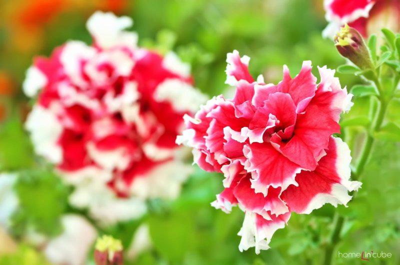 Druhy Petúnií nabízí bohaté či jednoduché květy a také s odlišným okrajem.