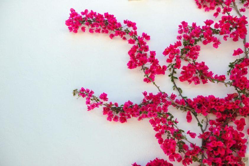Rostliny samopnoucí (břečťan, přísavník, hortenzie řapíkatá, brslen Fortuneův) chrání zdi domu proti přehřívání.