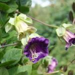Kobea (Cobaea) kvete od srpna do zámrazu. Krásné květy, které se postupně zabarvují do fialova, oživí kout naší zahrady.