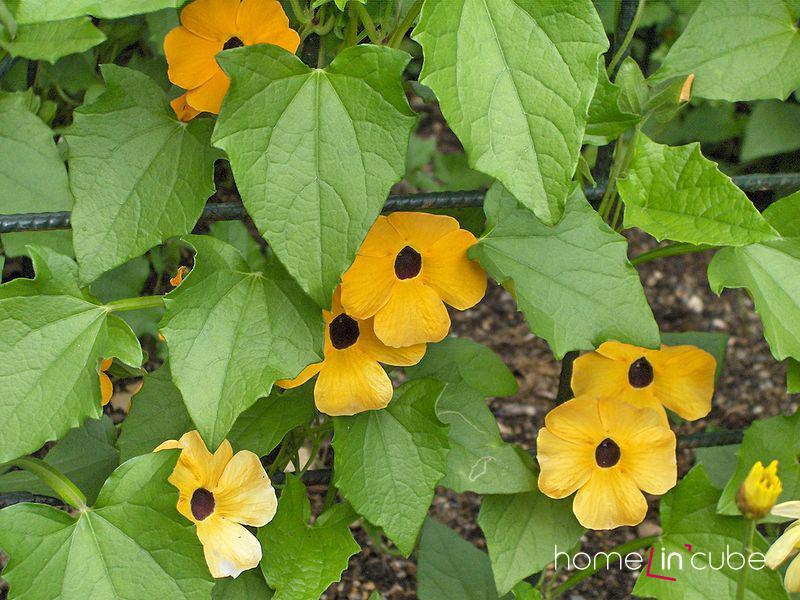 Tunbergie (černooká Zuzana) (Thunbergia alata) kvete od června do září. Popínavá Tunbergie nám pomůže žlutou barvou rozsvítit u domu třeba nevzhlednou zeď.