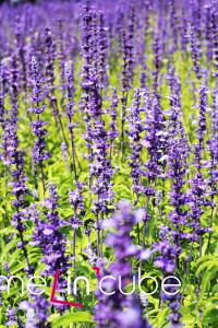Vonící modrofialová zahrada