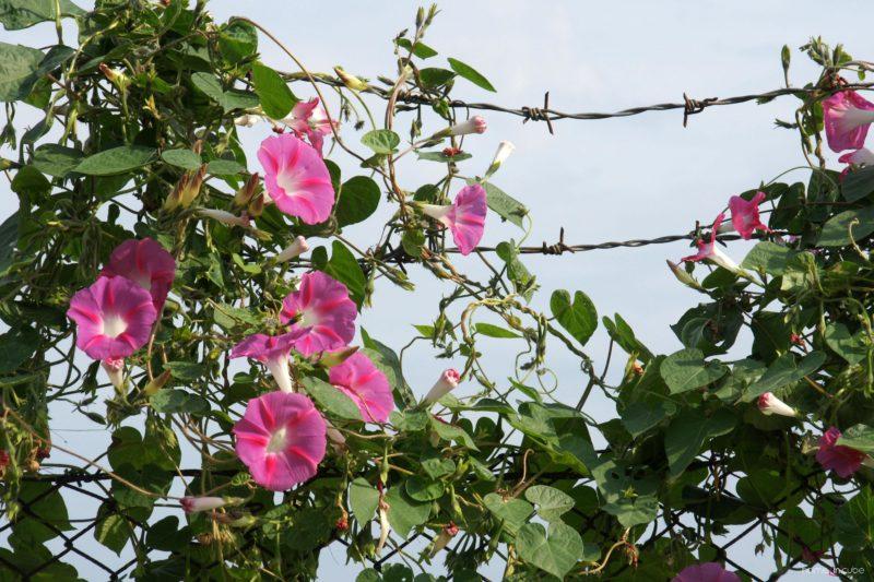 Letnička Svlačec se dobře uchycuje na drátěné konstrukci či plotě. Dokáže vytvořit kompaktní stěnu.