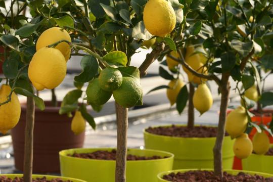 Budete-li se starat, pak se vám za péči odmění třeba i citronovník.