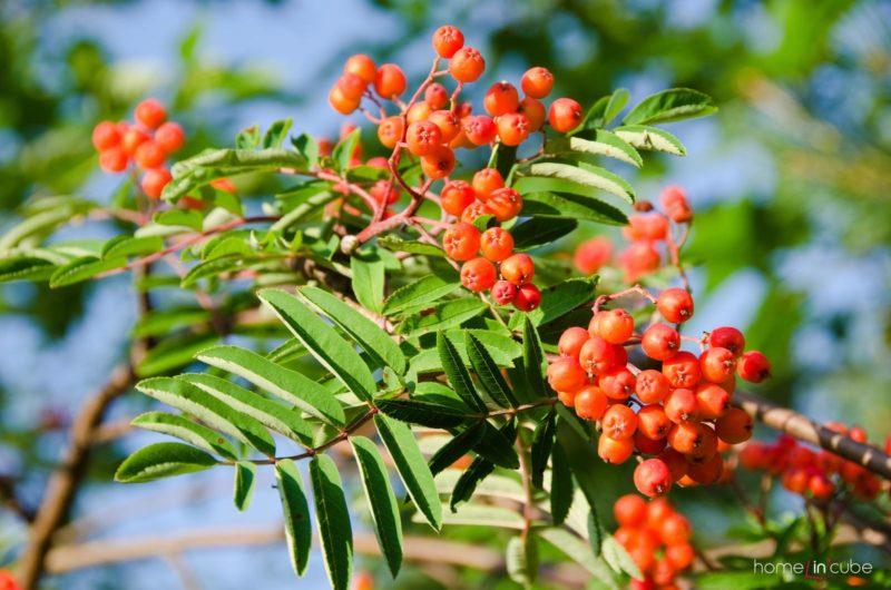 Jeřáb obecný moravský (Sorbus aucuparia var. moravica)