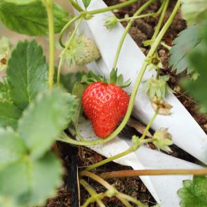 Podkládáme plody jahodníku