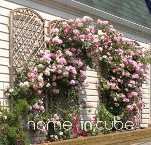 Pnoucí růže jsou velmi nenáročné, postačí jim prosvětlovací řez a odstraňování starých větviček.
