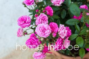 Zakrslé kvetoucí růže – miniaturky - jsou vhodné do skalek, menších nádob nebo jako záhonové obruby.