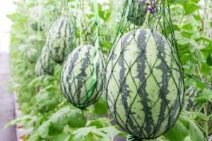 Plody melounů sbíráme, až když stopka sesychá a stáčí se do kličky.