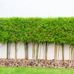 Řada bambusových stromků bude působit v zahradě roztomile a můžete je zasadit i před pěknou zeď.
