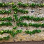 Jabloň přisazená ke stěně. Větve zakrývají starou zeď.