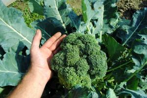 Sklízíme košťálovou zeleninu.