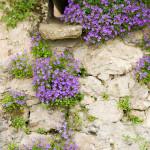 skalkové rostliny sázejte tak, aby kvetly postupně. Stěna tak bude barevná celou sezonu.