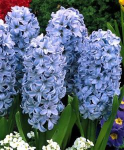 Nechali jste cibulky hyacintů přes léto vyhřát? Nyní je můžete znovu zasadit.