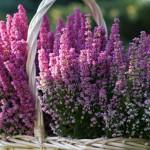 Proutěné koše, truhlíky i obaly květináčů jsou tím ideálním k vřesům i vřesovcům.