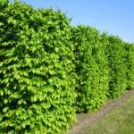 Do zahrady si můžete pořídit hotový živý plot v blocích, upravený do požadovaného tvaru. Použité keře jsou už mezi sebou krásně zapojené, husté a zdravé. Zapomeňte na túje, zkuste ptačí zob, habry, buxusy nebo buky. Nejsou drahé a zahradě sluší mnohem víc.