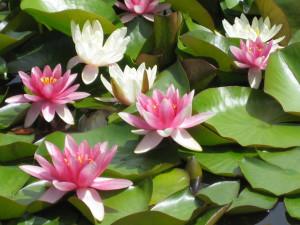 Květiny zcela bez práce – lekníny v jezírku.