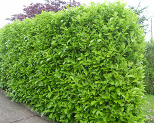 "Prunus laurocerasus ""rotundifolia"""