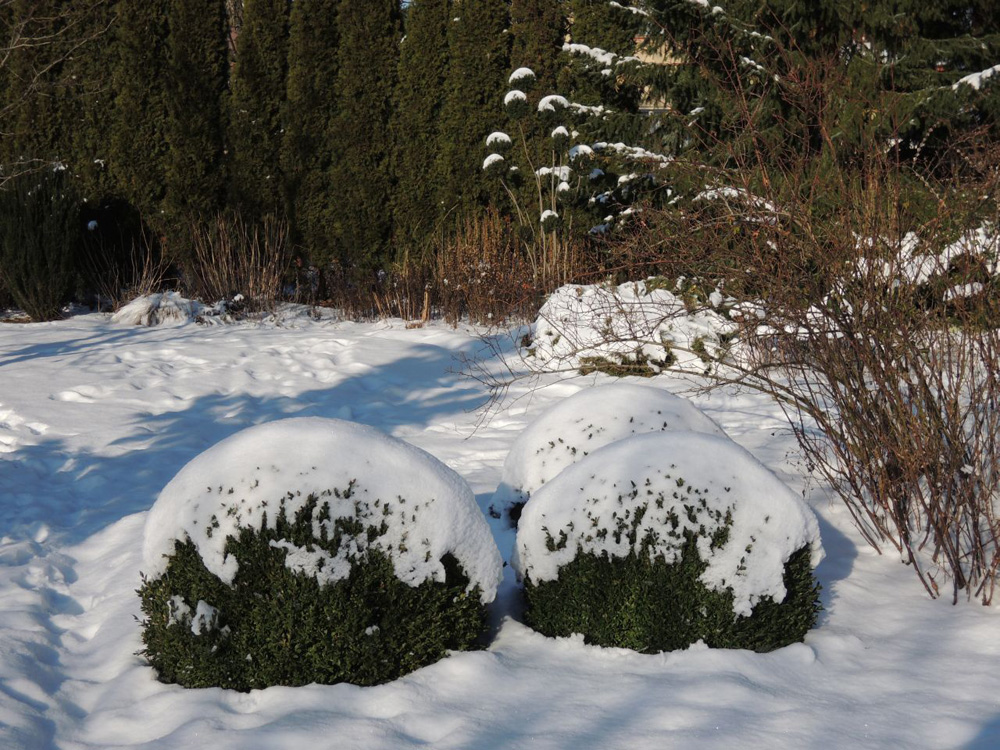 Výrazné tvary stříhaného zimostrázu (Buxus) a tisu (Taxus) vyniknou i na sněhu