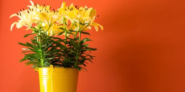 Hrnkové lilie nabízejí řadu barevných variant.