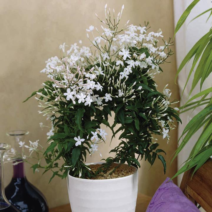 asminum polyanthum, české jméno: Jasmín mnohokvětý, původ: Čína, Indie, Srí Lanka. Nároky: dostatek osvětlení, půda stále vlhká, hnojivové zálivky provádějte jednou týdně od dubna do srpna, květinu je nutno dostatečně rosit.