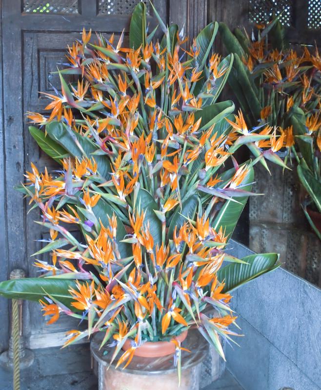 Strelitzia reginae (strelície královská), původ: Kapsko, Jižní Afrika, péče: jsou vděčné za pravidelnou hnojivovou zálivku, rozmnožování: dělení rostlin na jaře