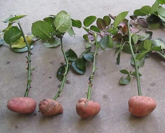 Řízek růže zasaďte do brambory.